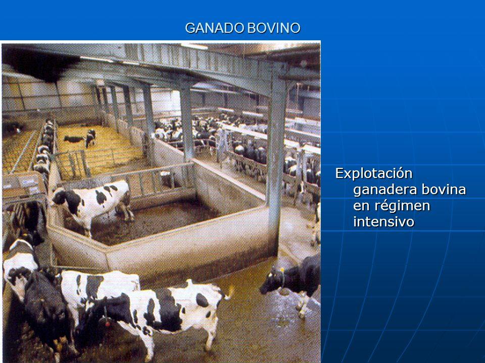 GANADO BOVINO Explotación ganadera bovina en régimen intensivo