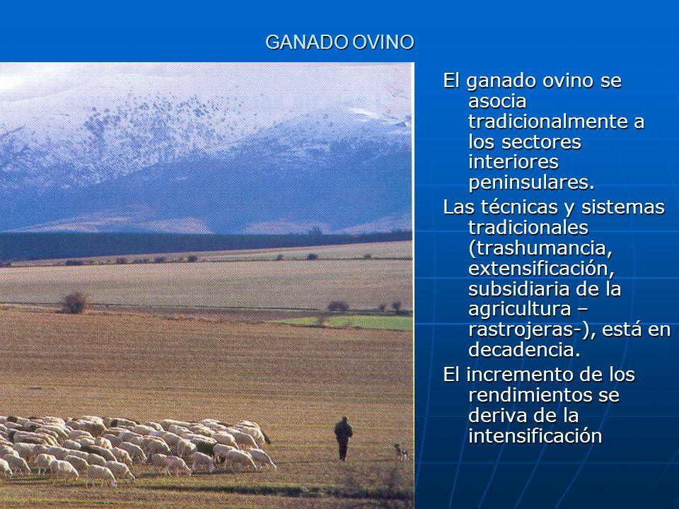 GANADO OVINOEl ganado ovino se asocia tradicionalmente a los sectores interiores peninsulares.