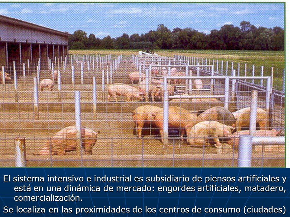 El sistema intensivo e industrial es subsidiario de piensos artificiales y está en una dinámica de mercado: engordes artificiales, matadero, comercialización.