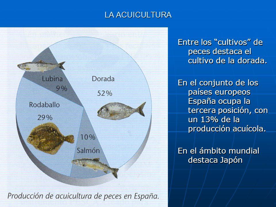 LA ACUICULTURA Entre los cultivos de peces destaca el cultivo de la dorada.