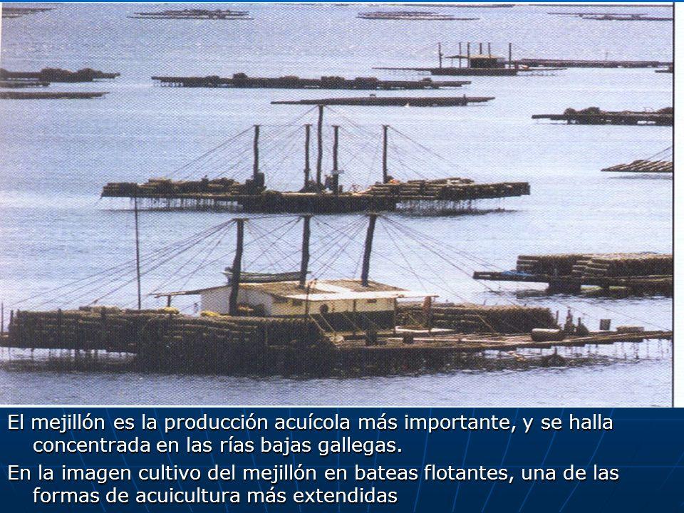 El mejillón es la producción acuícola más importante, y se halla concentrada en las rías bajas gallegas.
