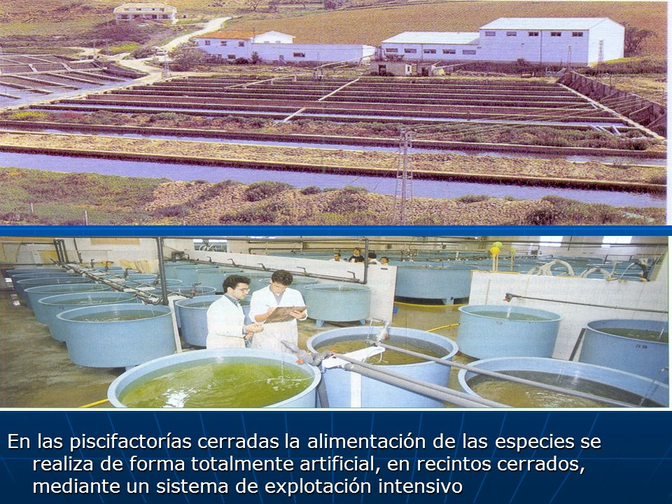 En las piscifactorías cerradas la alimentación de las especies se realiza de forma totalmente artificial, en recintos cerrados, mediante un sistema de explotación intensivo