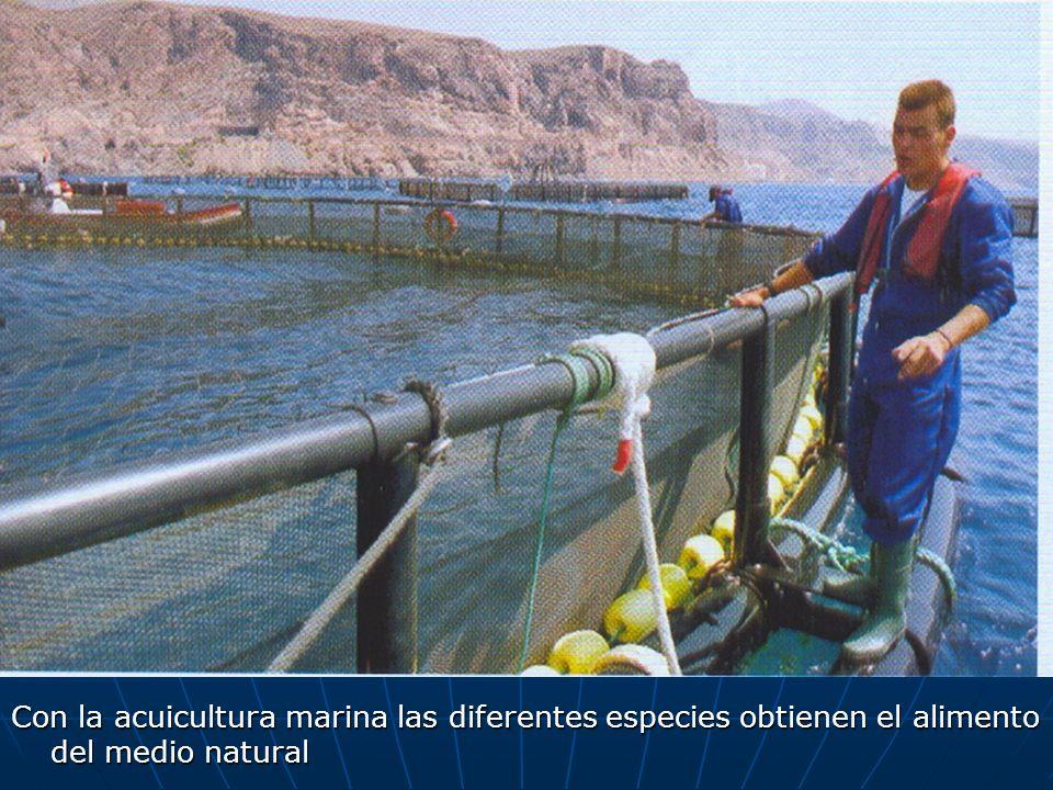 Con la acuicultura marina las diferentes especies obtienen el alimento del medio natural