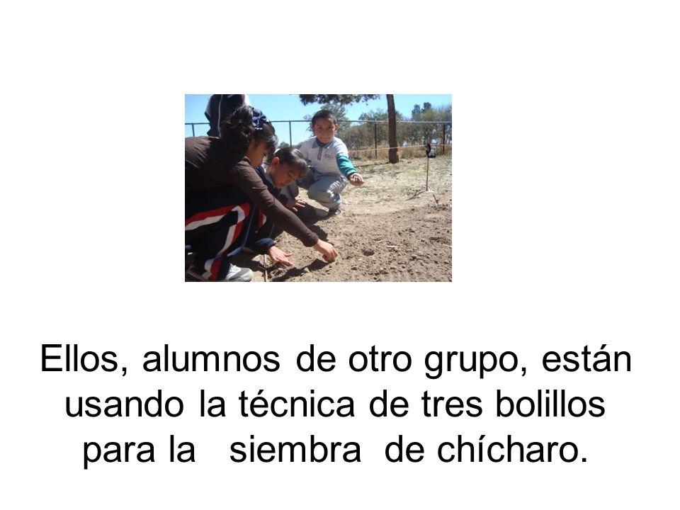 Ellos, alumnos de otro grupo, están usando la técnica de tres bolillos para la siembra de chícharo.