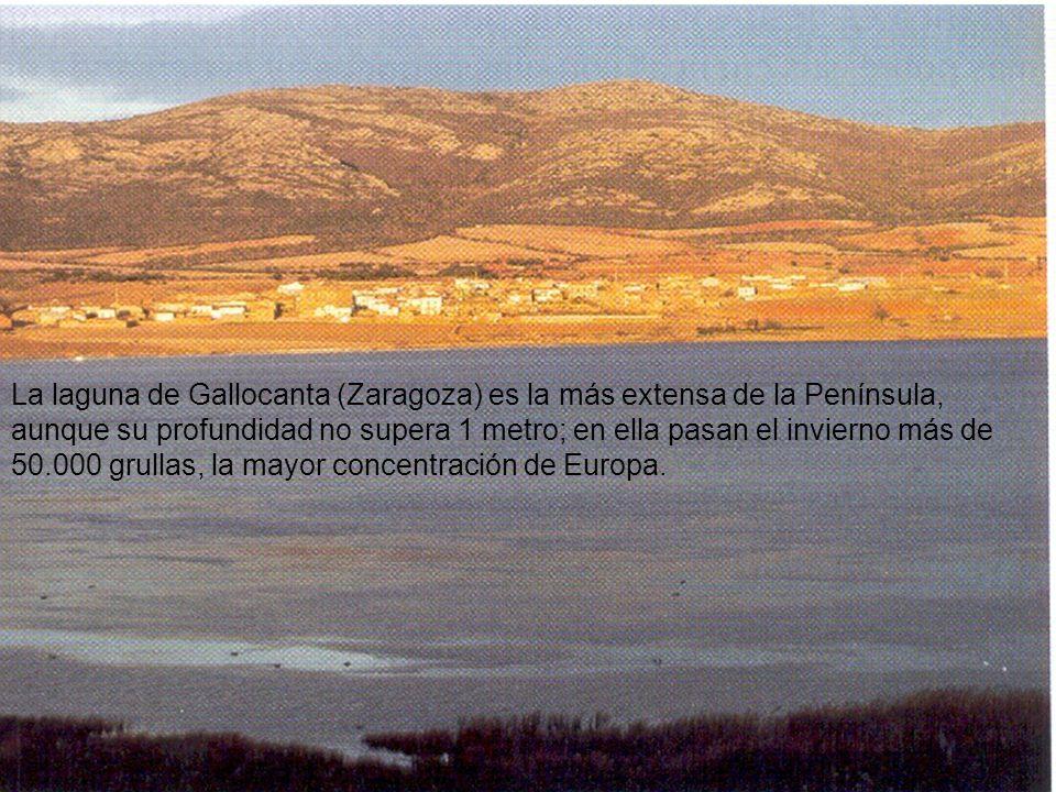 La laguna de Gallocanta (Zaragoza) es la más extensa de la Península, aunque su profundidad no supera 1 metro; en ella pasan el invierno más de 50.000 grullas, la mayor concentración de Europa.