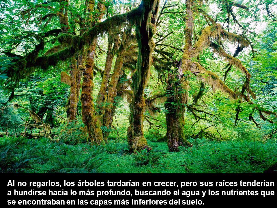 Al no regarlos, los árboles tardarían en crecer, pero sus raíces tenderían a hundirse hacia lo más profundo, buscando el agua y los nutrientes que se encontraban en las capas más inferiores del suelo.