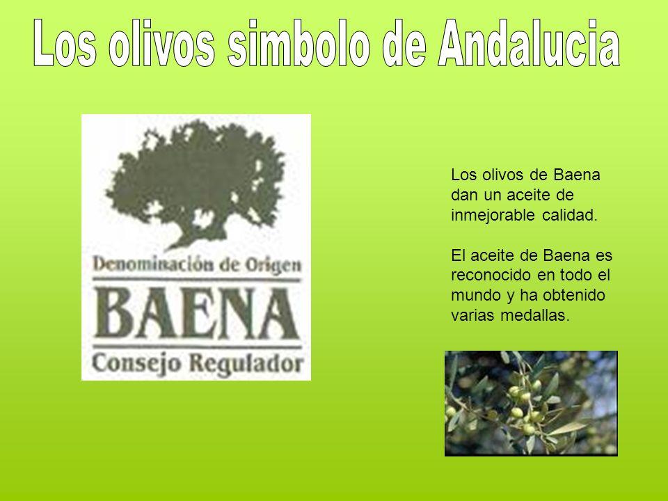 Los olivos simbolo de Andalucia