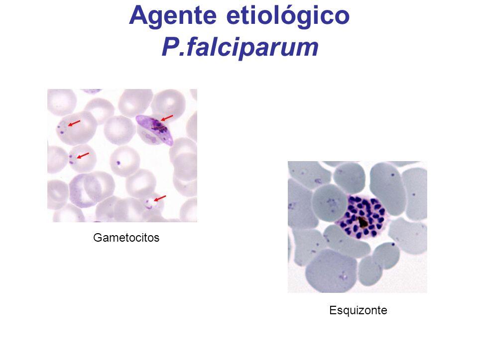Agente etiológico P.falciparum