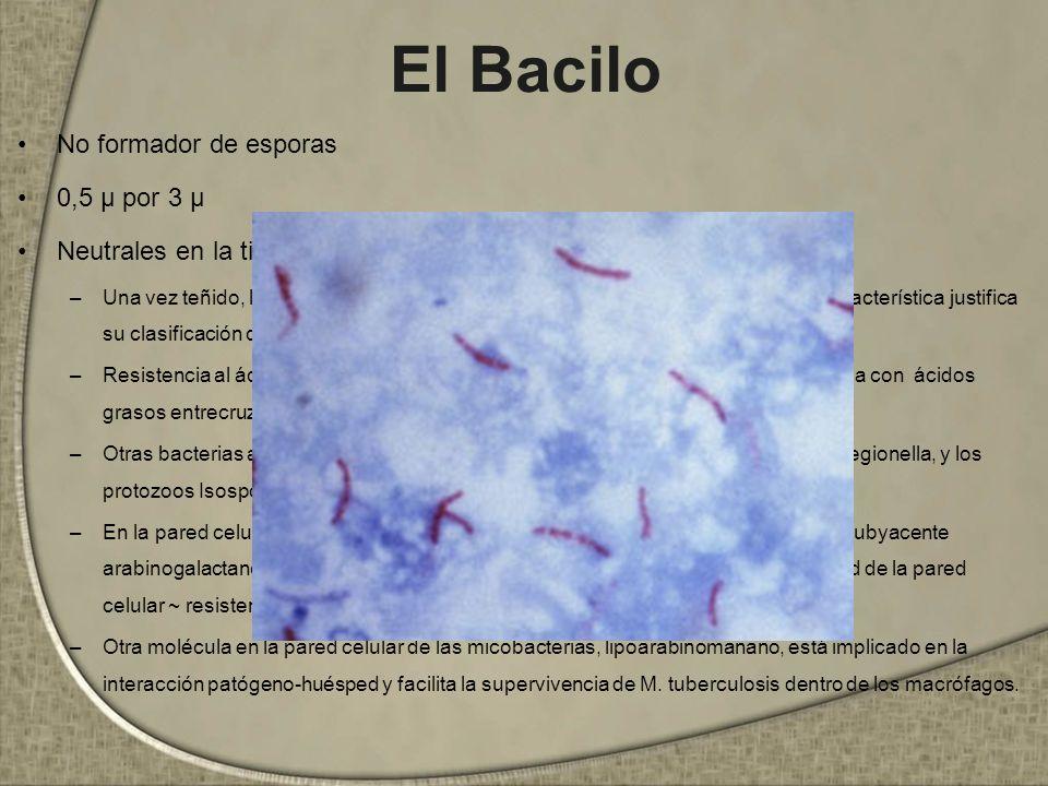 El Bacilo No formador de esporas 0,5 μ por 3 μ