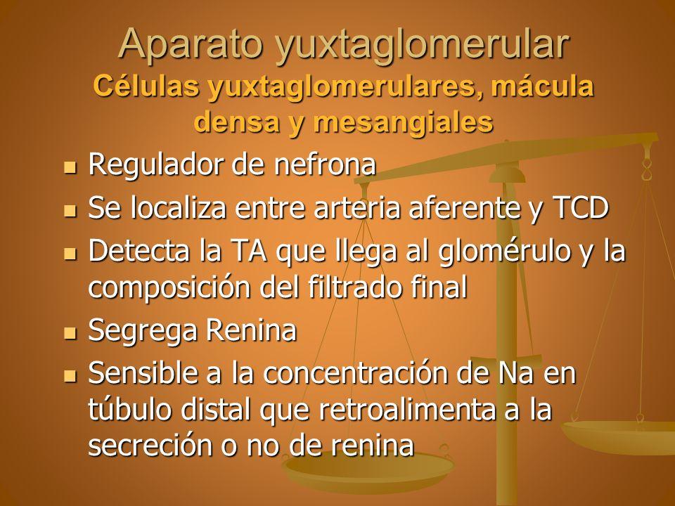 Aparato yuxtaglomerular Células yuxtaglomerulares, mácula densa y mesangiales