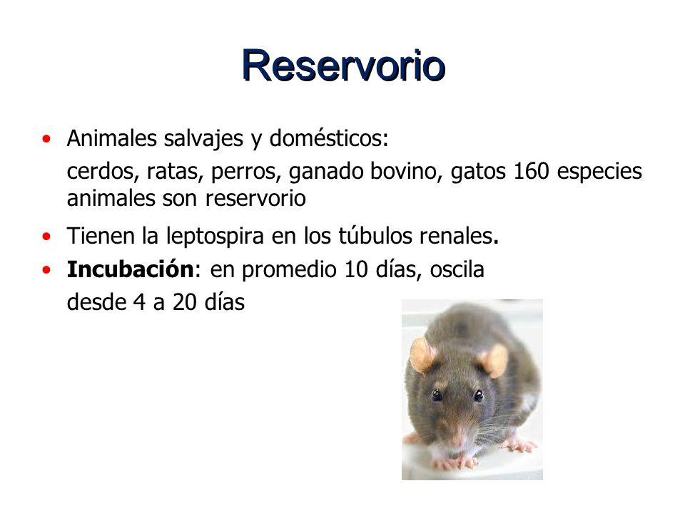 Reservorio Animales salvajes y domésticos: