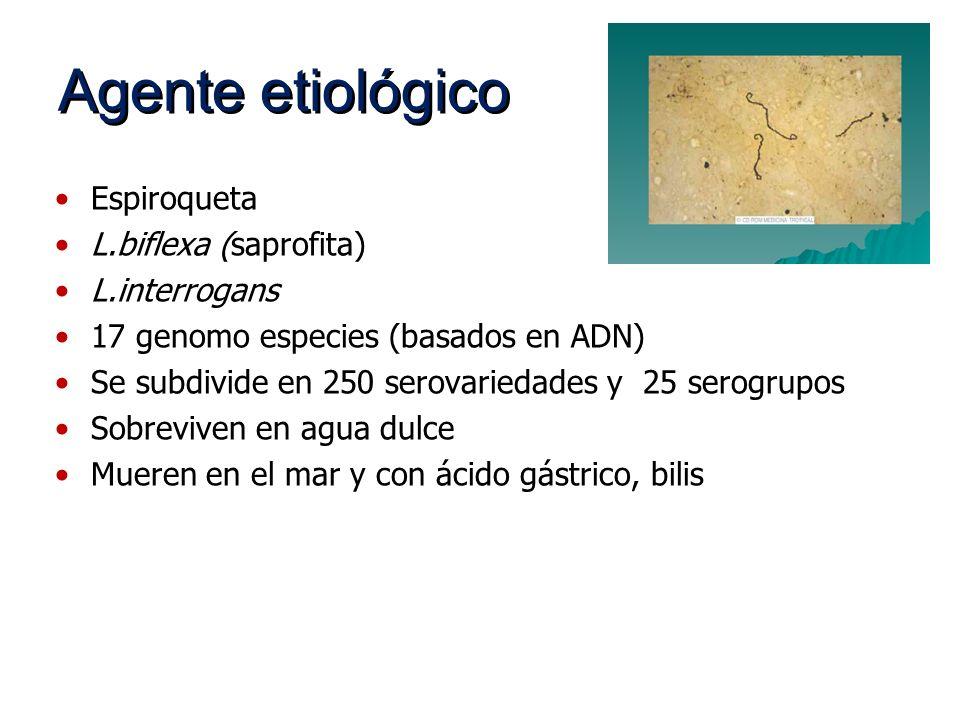 Agente etiológico Espiroqueta L.biflexa (saprofita) L.interrogans