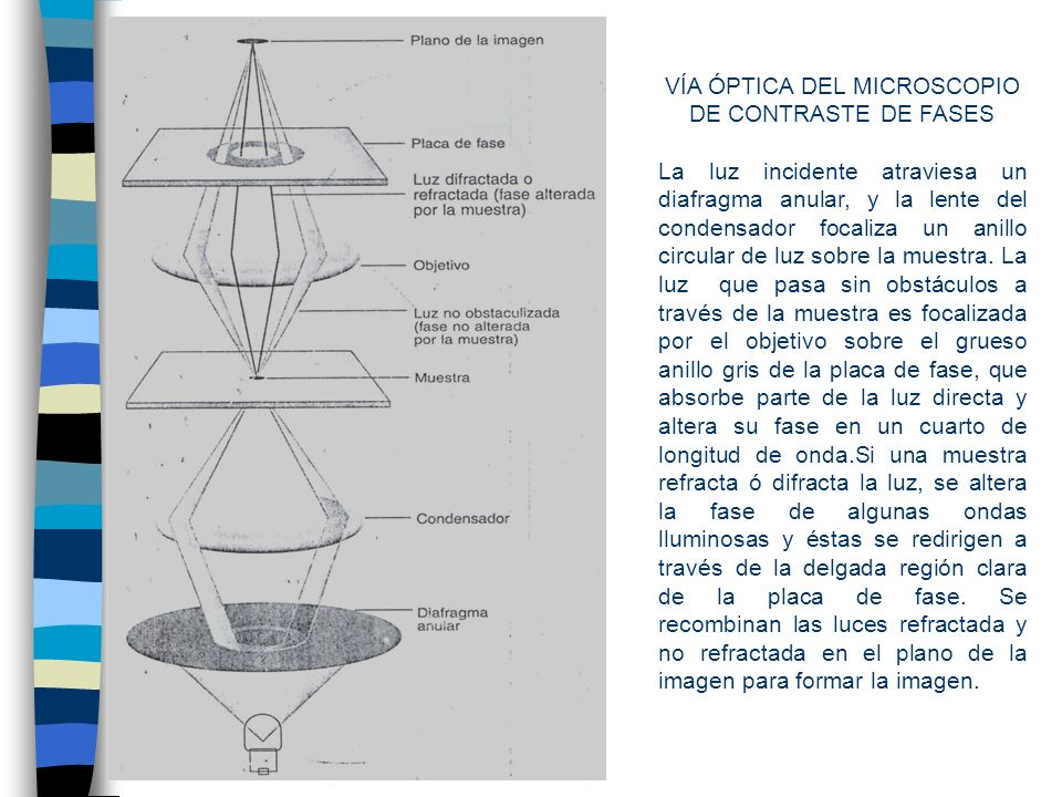 VÍA ÓPTICA DEL MICROSCOPIO DE CONTRASTE DE FASES