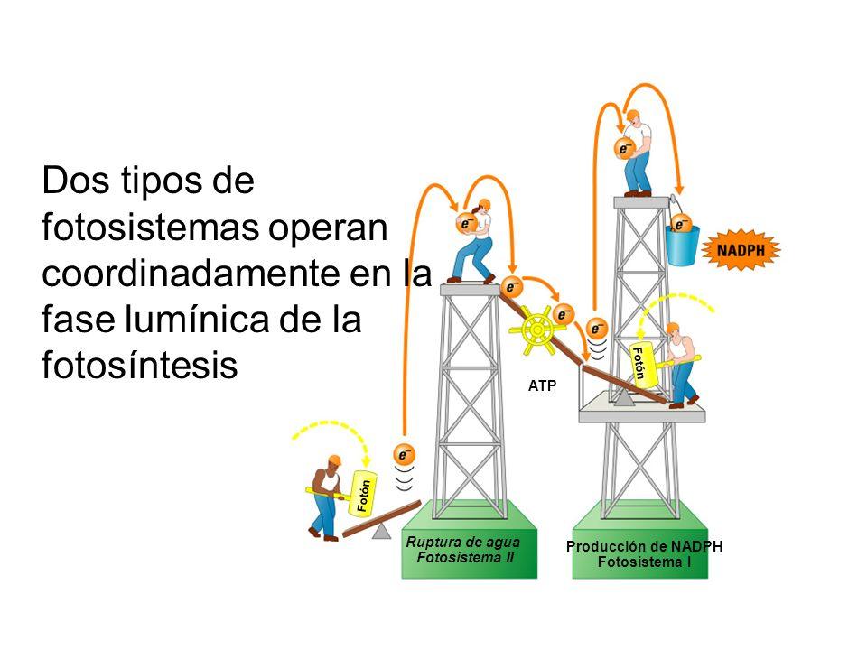 Dos tipos de fotosistemas operan coordinadamente en la fase lumínica de la fotosíntesis