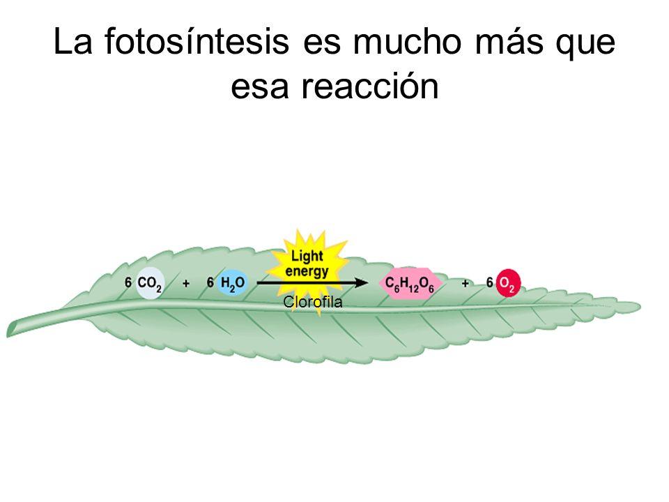 La fotosíntesis es mucho más que esa reacción