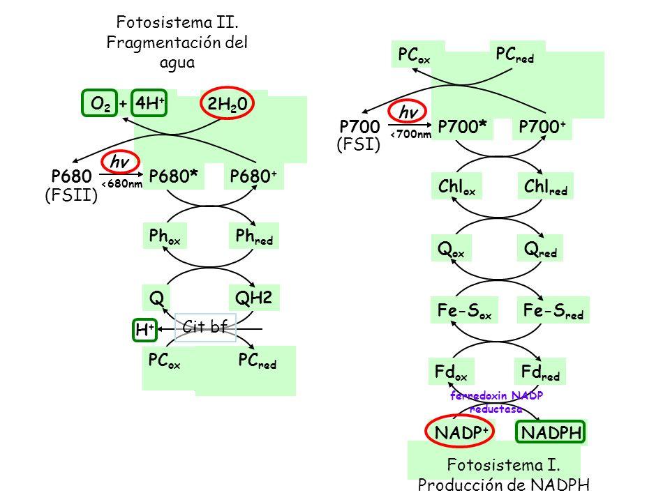 Fotosistema II. Fragmentación del agua