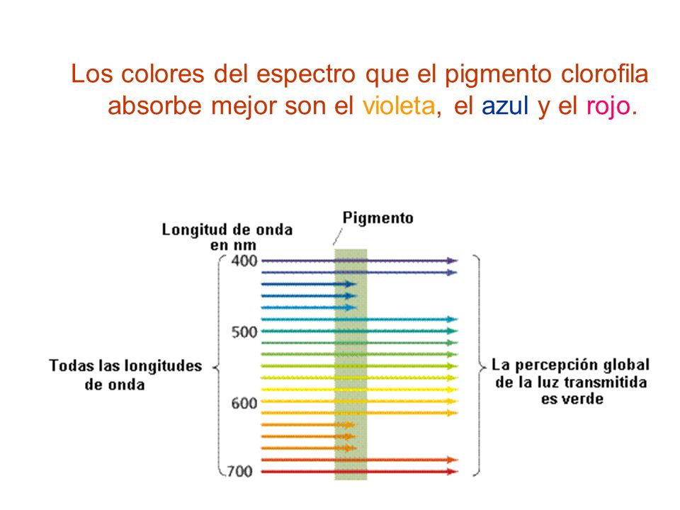 Los colores del espectro que el pigmento clorofila absorbe mejor son el violeta, el azul y el rojo.