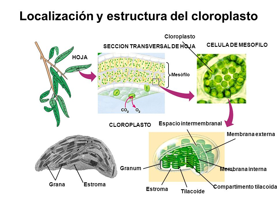 Localización y estructura del cloroplasto