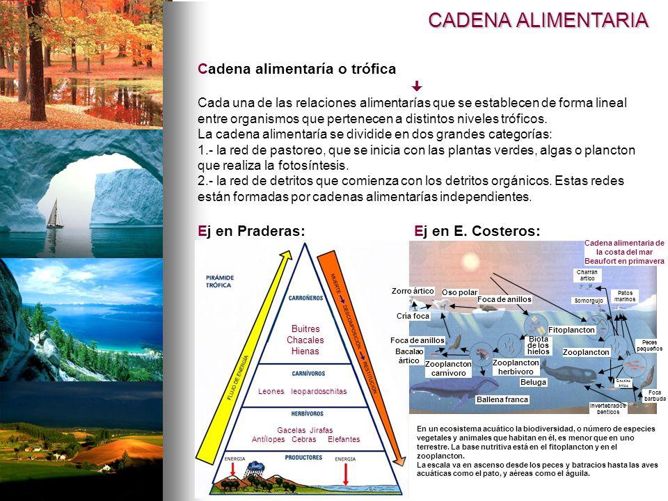 CADENA ALIMENTARIA Cadena alimentaría o trófica  Ej en Praderas: