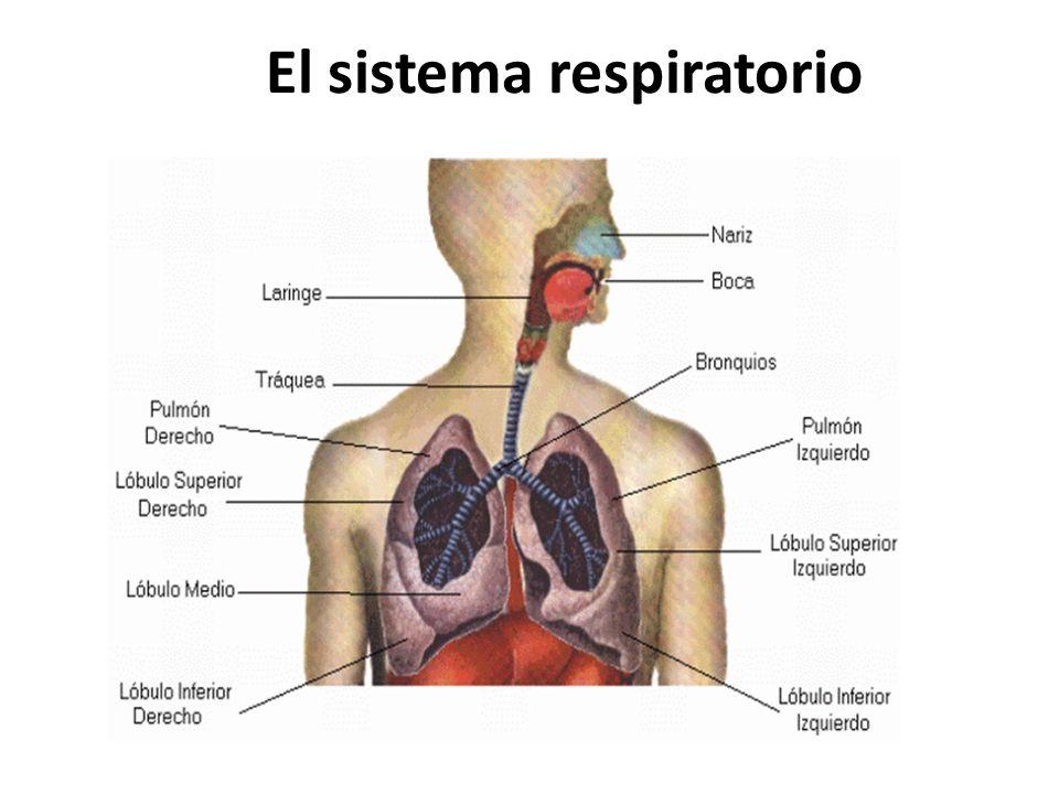 El sistema respiratorio - ppt video online descargar