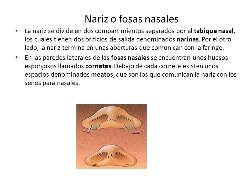 La nariz se divide en dos compartimientos separados por el tabique nasal, los cuales tienen dos orificios de salida denominados narinas. Por el otro lado, la nariz termina en unas aberturas que comunican con la faringe.