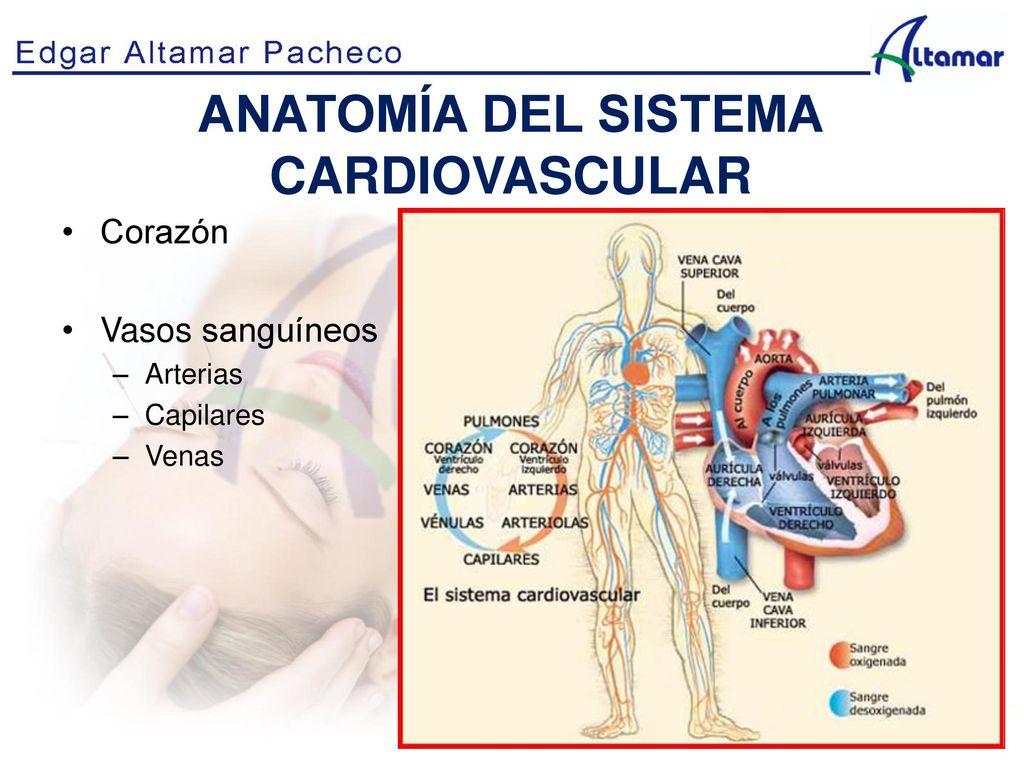 Contemporáneo Anatomía Del Sistema Cardiovascular Ilustración ...