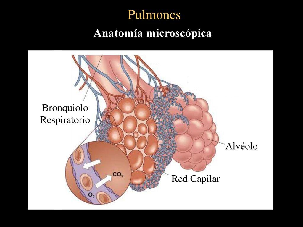Único S Ancho Anatomía Macroscópica Colección - Anatomía de Las ...