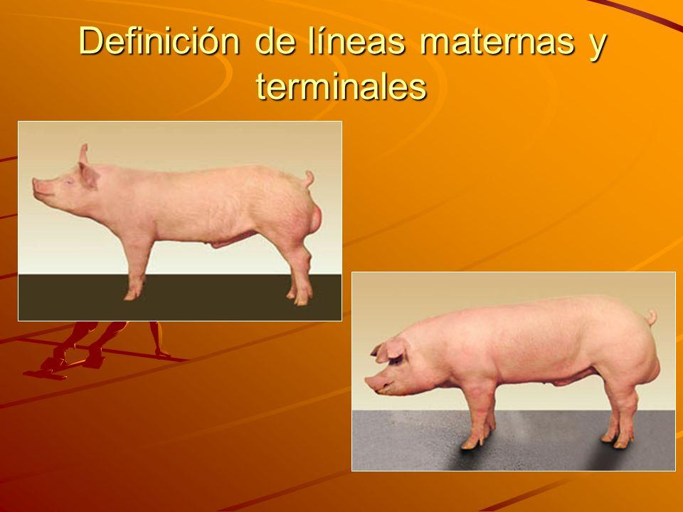 Definición de líneas maternas y terminales