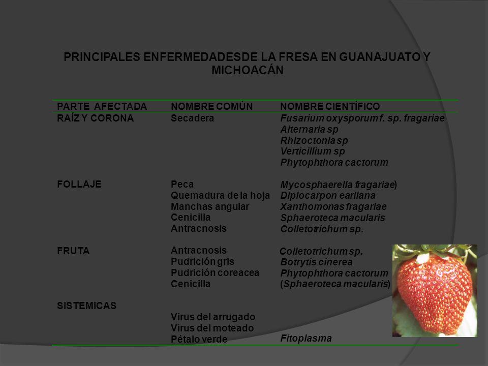 PRINCIPALES ENFERMEDADES DE LA FRESA EN GUANAJUATO Y MICHOACÁN