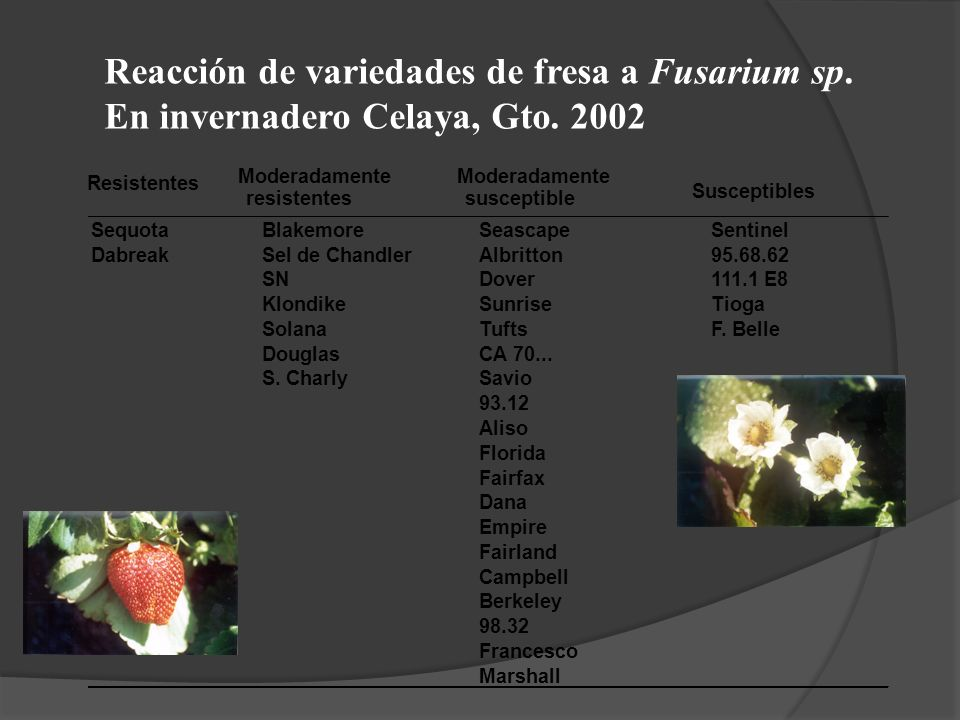 Reacción de variedades de fresa a Fusarium sp