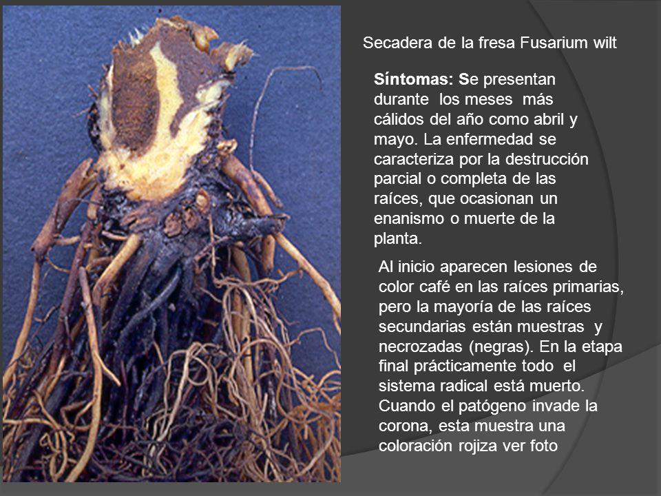 Secadera de la fresa Fusarium wilt