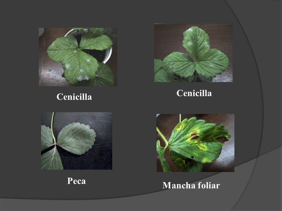 Cenicilla Cenicilla Peca Mancha foliar