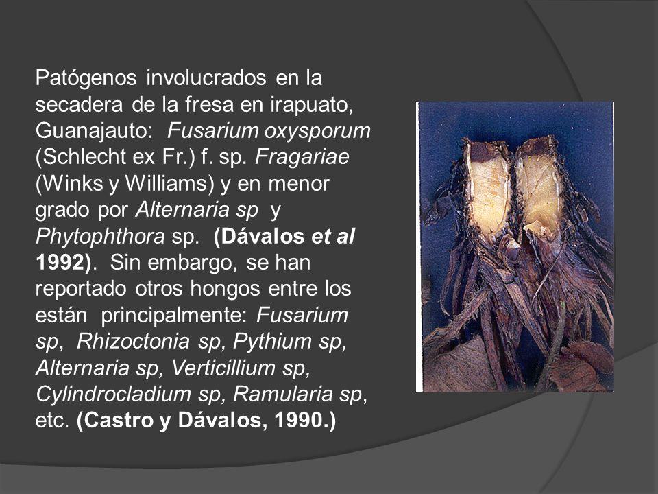 Patógenos involucrados en la secadera de la fresa en irapuato, Guanajauto: Fusarium oxysporum (Schlecht ex Fr.) f.