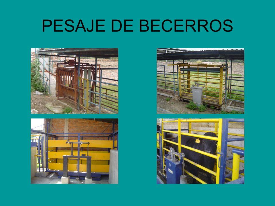 PESAJE DE BECERROS