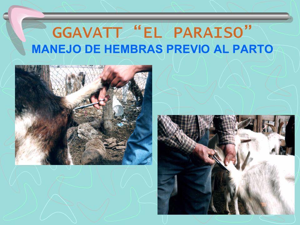 GGAVATT EL PARAISO MANEJO DE HEMBRAS PREVIO AL PARTO