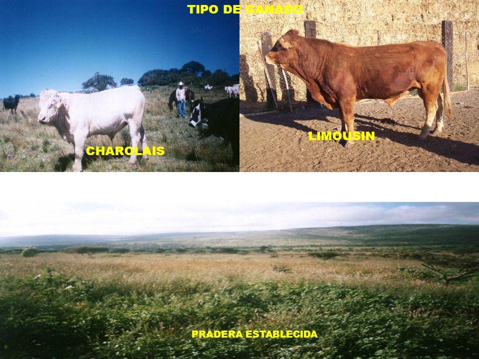 TIPO DE GANADO LIMOUSIN CHAROLAIS PRADERA ESTABLECIDA VACA CRIA