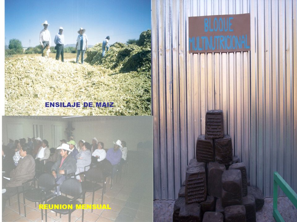 ELABORACION DE B. M .N. ENSILAJE DE MAIZ REUNION MENSUAL