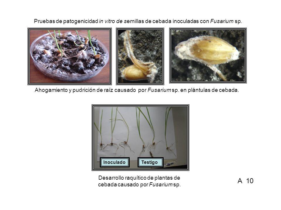 Desarrollo raquítico de plantas de cebada causado por Fusarium sp.