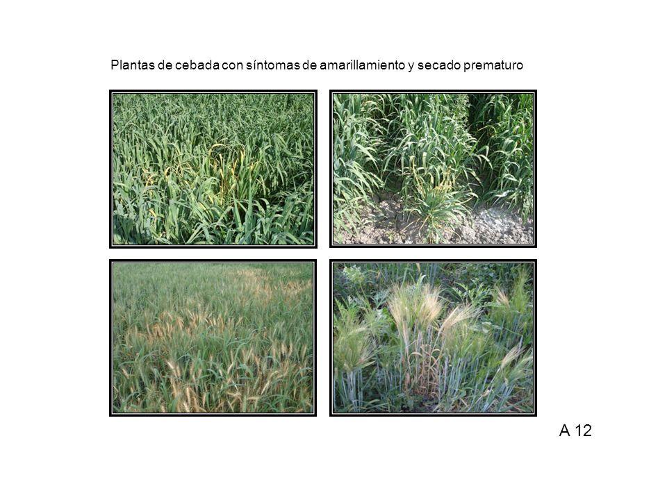 Plantas de cebada con síntomas de amarillamiento y secado prematuro