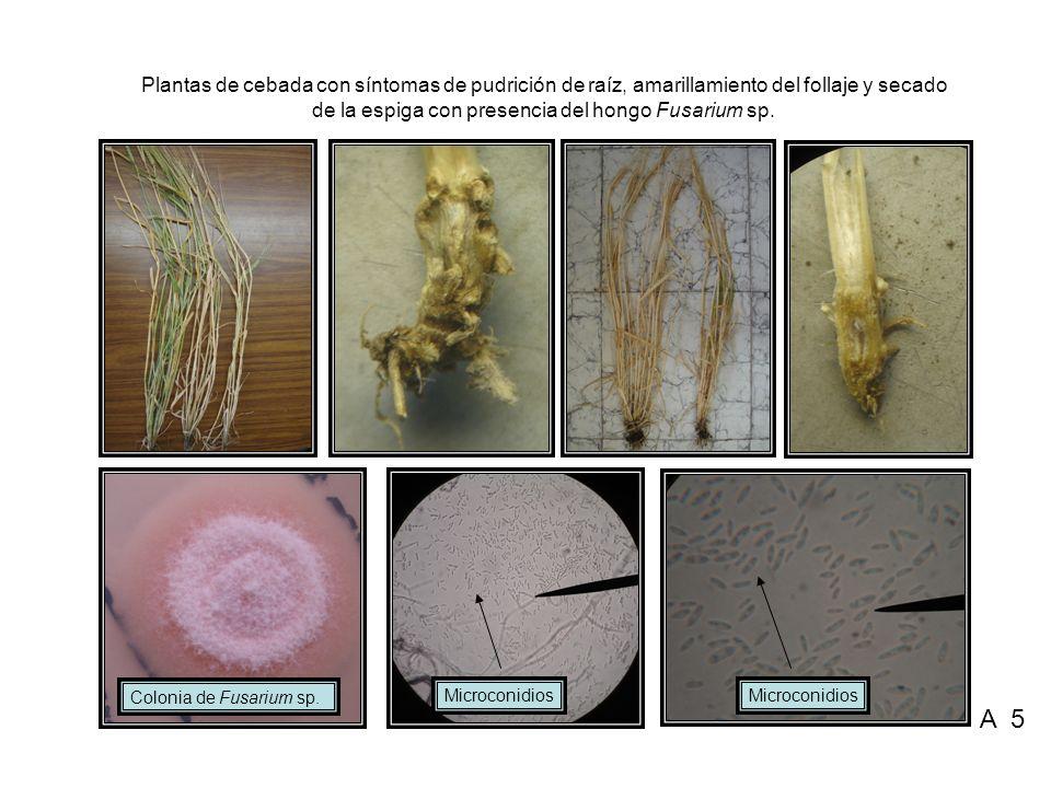 Plantas de cebada con síntomas de pudrición de raíz, amarillamiento del follaje y secado de la espiga con presencia del hongo Fusarium sp.