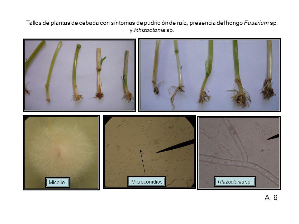 Tallos de plantas de cebada con síntomas de pudrición de raíz, presencia del hongo Fusarium sp. y Rhizoctonia sp.