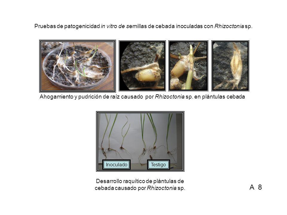 Pruebas de patogenicidad in vitro de semillas de cebada inoculadas con Rhizoctonia sp.