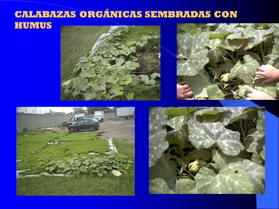 CALABAZAS ORGÁNICAS SEMBRADAS CON HUMUS