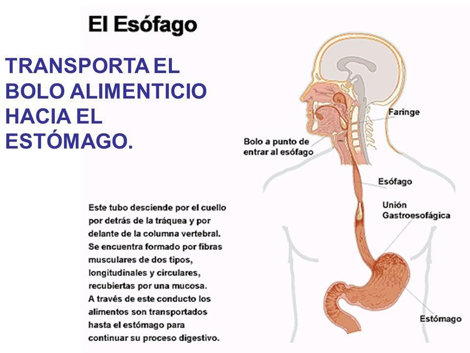 TRANSPORTA EL BOLO ALIMENTICIO HACIA EL ESTÓMAGO.