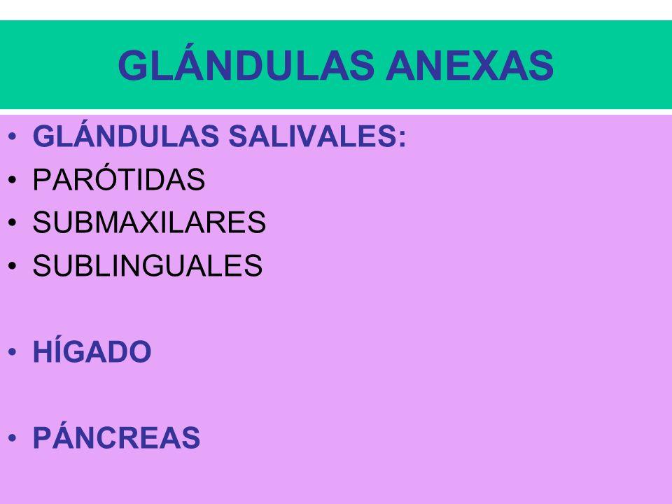 GLÁNDULAS ANEXAS GLÁNDULAS SALIVALES: PARÓTIDAS SUBMAXILARES
