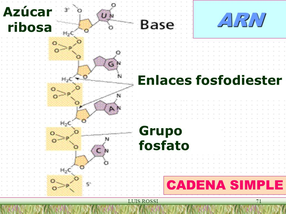 ARN Azúcar ribosa Enlaces fosfodiester Grupo fosfato CADENA SIMPLE