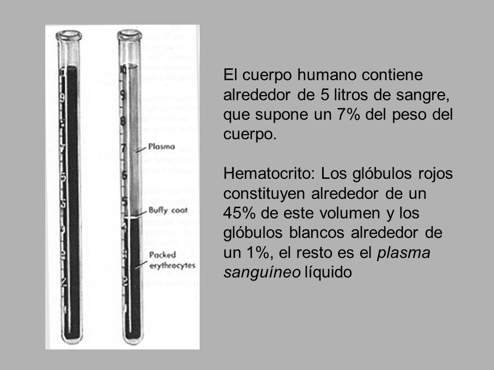 El cuerpo humano contiene alrededor de 5 litros de sangre, que supone un 7% del peso del cuerpo.