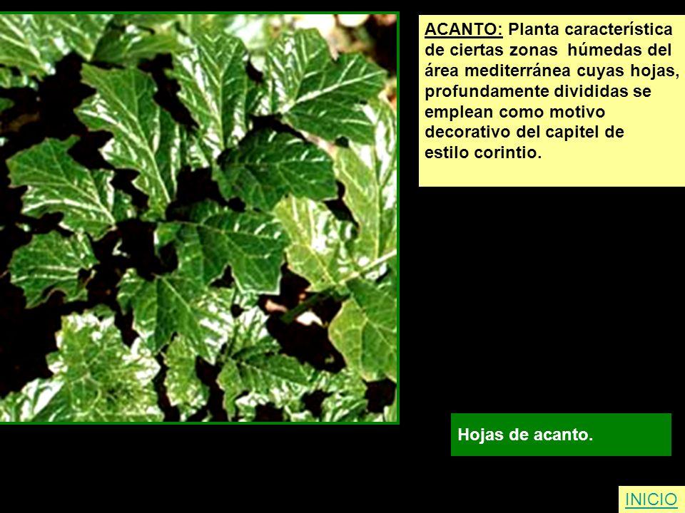 ACANTO: Planta característica