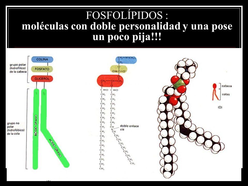 FOSFOLÍPIDOS : moléculas con doble personalidad y una pose un poco pija!!!