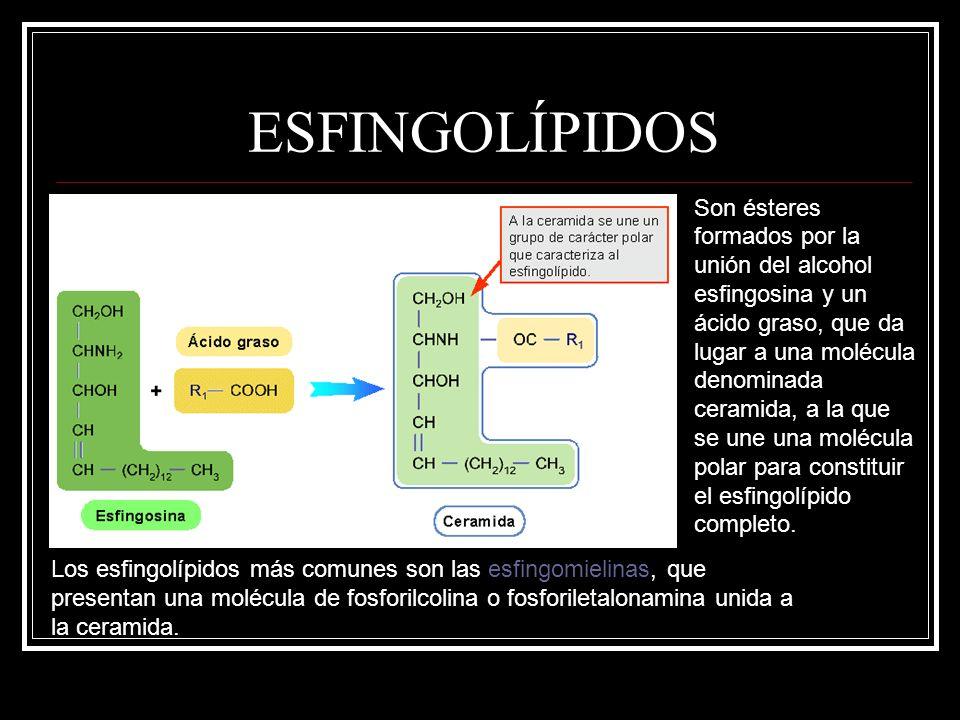 ESFINGOLÍPIDOS Son ésteres formados por la unión del alcohol